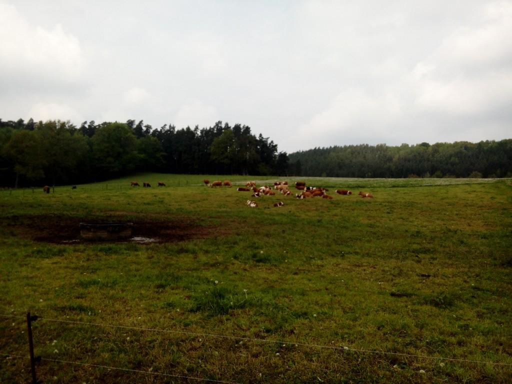 Kühe Wildgehege Untergneus